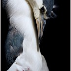 Threat: Sport Night Heron 1. © Dr J Zammit-Lucia. All Rights Reserved